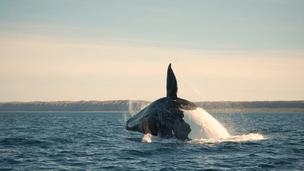 Whale watching in Puerto Madryn.