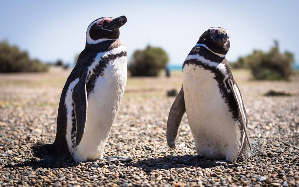Magellanic Penguins near Puerto Madryn